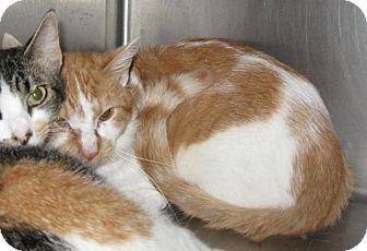 Domestic Shorthair Cat for adoption in Stillwater, Oklahoma - Meatball
