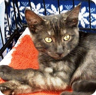 Domestic Shorthair Kitten for adoption in Castro Valley, California - Smokey