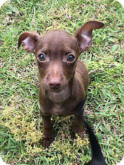 Chihuahua Mix Puppy for adoption in Garner, North Carolina - Flynn rider
