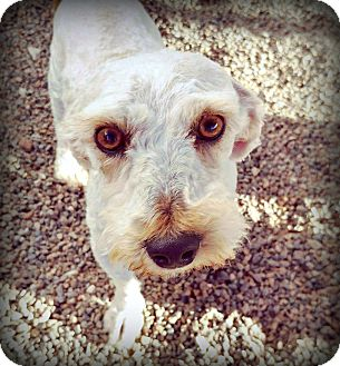 Westie, West Highland White Terrier/Poodle (Toy or Tea Cup) Mix Dog for adoption in Tijeras, New Mexico - Frank