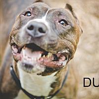 Adopt A Pet :: Duke - South Park, PA