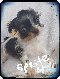 Shih Tzu/Papillon Mix Puppy for adoption in Palm Bay, Florida - Sprite