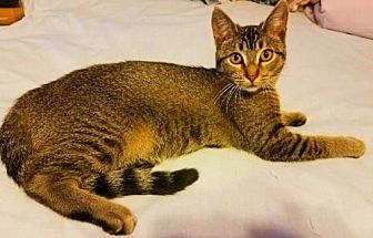Domestic Shorthair Cat for adoption in Oviedo, Florida - Daphney