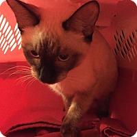 Snowshoe Cat for adoption in Glendale, Arizona - Mocha