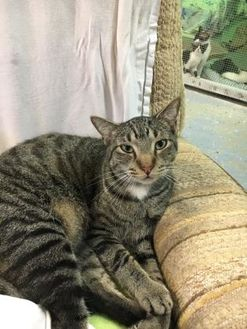 Domestic Shorthair/Domestic Shorthair Mix Cat for adoption in Brooksville, Florida - Cole
