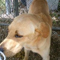 Labrador Retriever Mix Dog for adoption in Opelousas, Louisiana - Ron