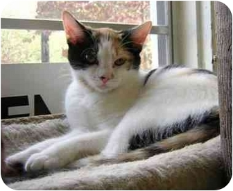Calico Cat for adoption in Homewood, Alabama - Sally