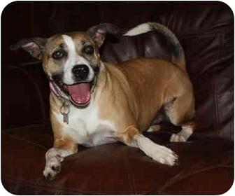 American Pit Bull Terrier Mix Dog for adoption in kennebunkport, Maine - Kora
