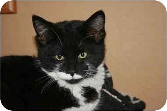 Domestic Mediumhair Kitten for adoption in Phelan, California - Joey