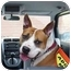 Photo 1 - American Staffordshire Terrier/Boxer Mix Dog for adoption in Freeport, New York - Marshall