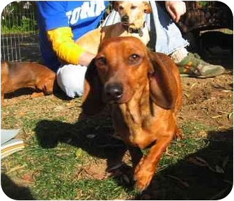 Dachshund Dog for adoption in Vista, California - DUTCHESS