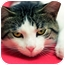 Photo 3 - Domestic Shorthair Cat for adoption in Chicago, Illinois - Tazzy