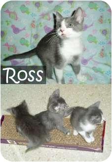 Domestic Shorthair Kitten for adoption in Haughton, Louisiana - Ross