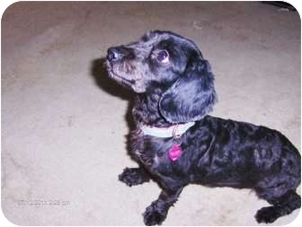 Dachshund/Terrier (Unknown Type, Small) Mix Dog for adoption in Jacksonville, Florida - Midnight