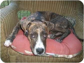 Terrier (Unknown Type, Medium)/Hound (Unknown Type) Mix Puppy for adoption in Kingwood, Texas - Jack