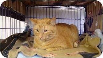 Domestic Shorthair Cat for adoption in Hamburg, New York - Dexter