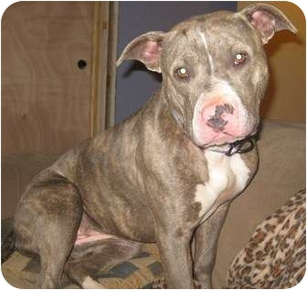 American Pit Bull Terrier Mix Dog for adoption in South Plainfield, New Jersey - Bunny
