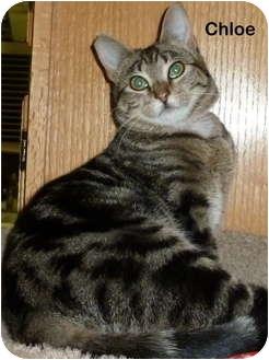 Domestic Shorthair Kitten for adoption in Portland, Oregon - Chloe