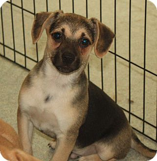 Chihuahua Mix Puppy for adoption in Homer, New York - Cassidy