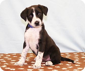 Australian Cattle Dog Mix Puppy for adoption in Westminster, Colorado - Piper