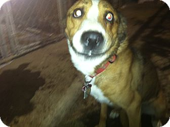 Australian Shepherd/Hound (Unknown Type) Mix Dog for adoption in Massillon, Ohio - BRAZEN