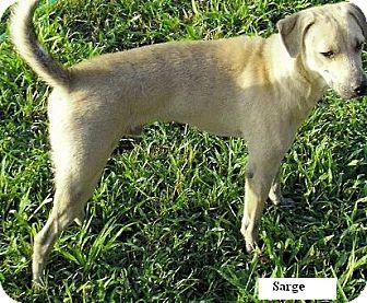 Labrador Retriever Mix Dog for adoption in Moulton, Alabama - Sarge