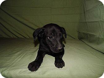 Labrador Retriever Mix Puppy for adoption in Bel Air, Maryland - April