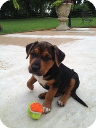 Labrador Retriever/Hound (Unknown Type) Mix Puppy for adoption in Russellville, Kentucky - Paisley