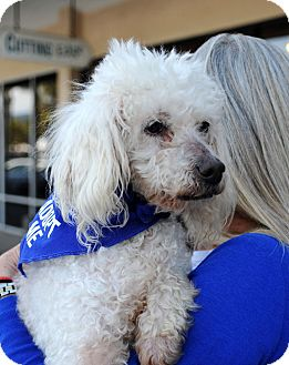Miniature Poodle Dog for adoption in Santa Barbara, California - Peaches