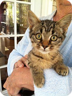 Bengal Kitten for adoption in Apex, North Carolina - Nyx