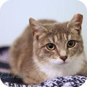 Domestic Shorthair Cat for adoption in Brimfield, Massachusetts - Sweetie Pie