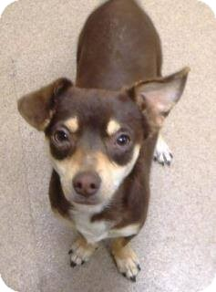 Chihuahua Mix Dog for adoption in Las Vegas, Nevada - Rusty