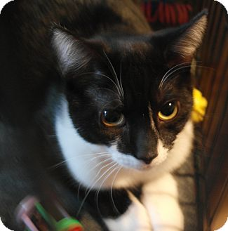 Domestic Shorthair Cat for adoption in Monroe, Connecticut - Dandy