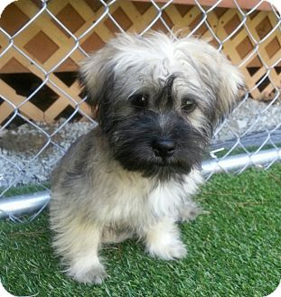 Shih Tzu Mix Puppy for adoption in Youngwood, Pennsylvania - Taz