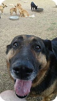 German Shepherd Dog Mix Dog for adoption in Jarrell, Texas - Maggie