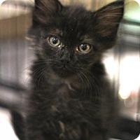 Adopt A Pet :: Macho Man - Sacramento, CA
