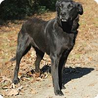 Adopt A Pet :: *Lacey - PENDING - Westport, CT