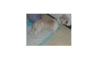 Shih Tzu Dog for adoption in Lomita, California - Jessie