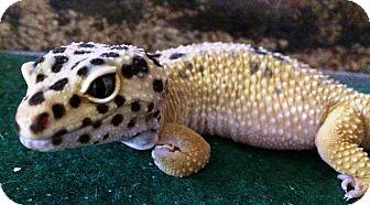 Gecko for adoption in Edinburg, Pennsylvania - Loki