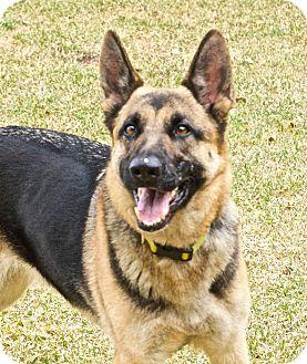 German Shepherd Dog Dog for adoption in Chillicothe, Ohio - Summer