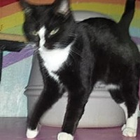 Domestic Shorthair Cat for adoption in Iroquois, Illinois - Lindsey