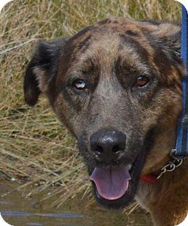 Catahoula Leopard Dog Mix Dog for adoption in Oriental, North Carolina - Merlin New Leash on Life