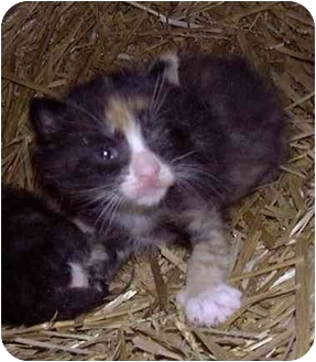 Domestic Shorthair Kitten for adoption in Cincinnati, Ohio - Ruby