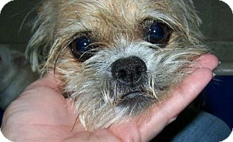 Brussels Griffon Mix Dog for adoption in Lafayette, Louisiana - S Peaches