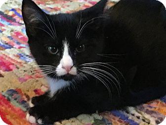 Domestic Shorthair Kitten for adoption in Salt Lake City, Utah - Ronald
