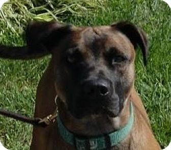 Boxer Mix Dog for adoption in Monroe, Michigan - Stosh