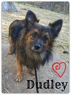Pomeranian Mix Dog for adoption in Chester, Connecticut - Dudley