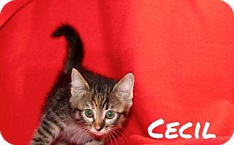 Domestic Shorthair Kitten for adoption in Batesville, Arkansas - Cecil