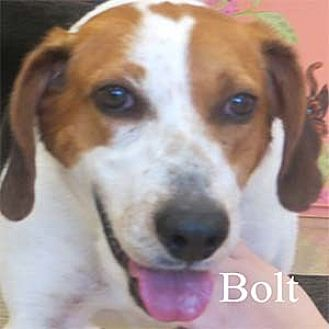 Coonhound Mix Dog for adoption in Warren, Pennsylvania - Bolt