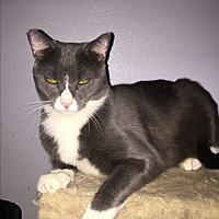 Adopt A Pet :: Tom - Monrovia, CA